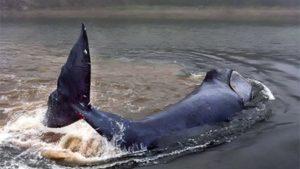 В Хабаровском крае пытаются спасти застрявшего на мелководье кита