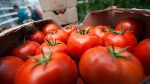 Более трети турецких поставщиков томатов в Россию нарушают фитосанитарные требования